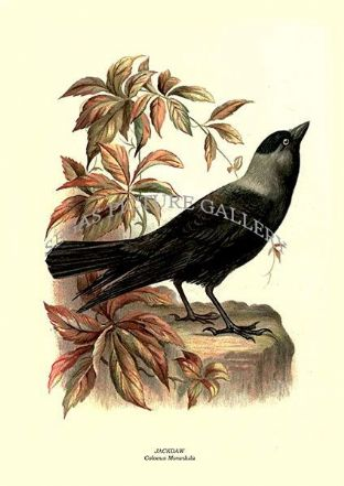 JACKDAW - Coloeus Monedula